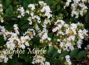 crapemyrtle-3