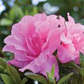 Encore 'carnation'