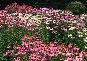 Echinacea Trial garden