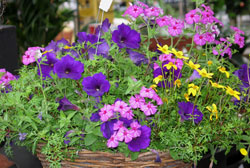 annuals hanging basket