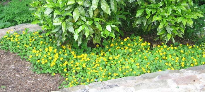Green And Gold Chrysogonum Virginiana