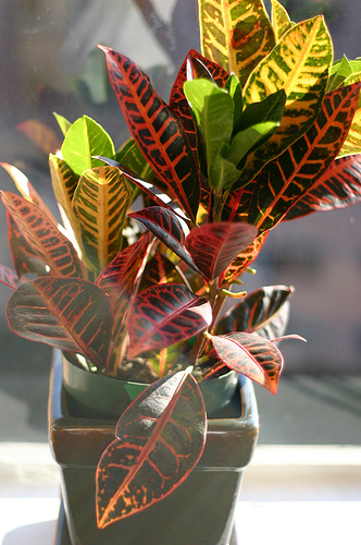 houseplant Croton Flickr Robinelaine