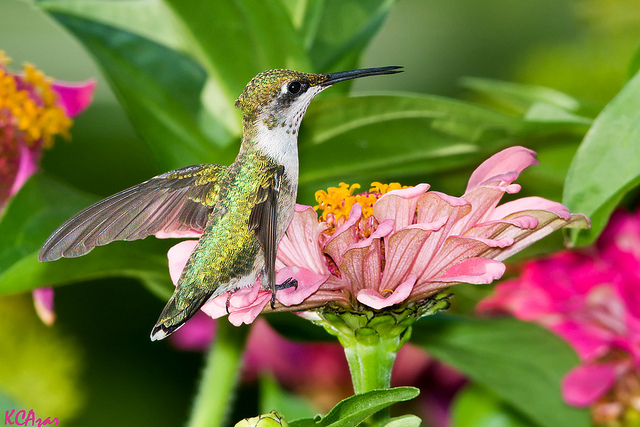 Hummer Ruby Throated Flickr Puttefin