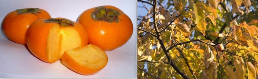 Asian and Amer Persimmons