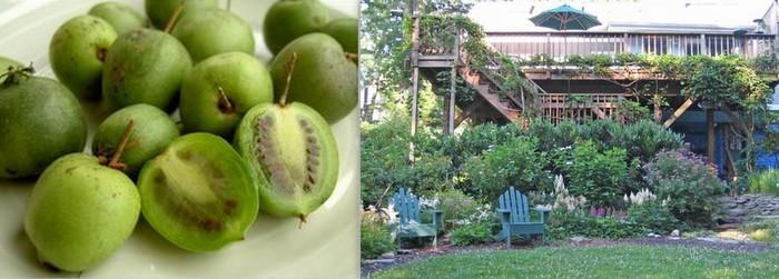 Hardy Kiwi Vine can cover a house in a season.