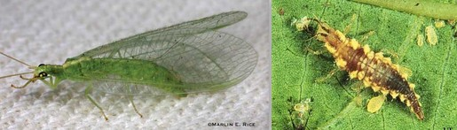 Lacewing Adult and Larva