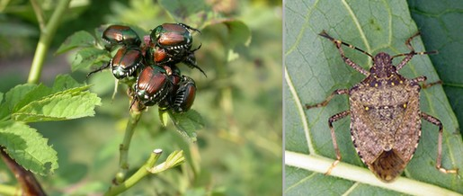 pests japanese beetles and brown marmorated stink bug