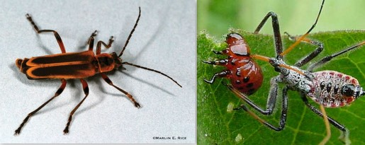 pests soldier beetle and assassin bug