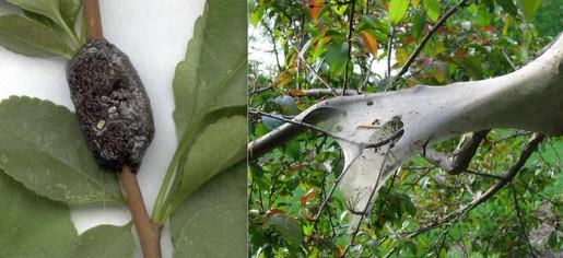 pests tent caterillar's egg mass