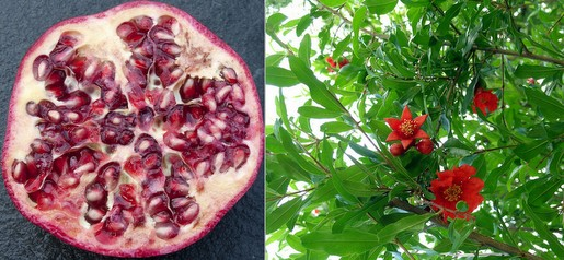 Who knew pomegranates had such gorgeous, tropiccal-looking flowers?