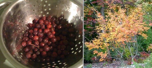 Serviceberries and the tree in fall.
