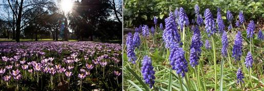(L) Crocus and (R) Grape Hyacinth