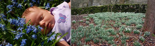 (L) Siberian Squill and (R) Snowdrops