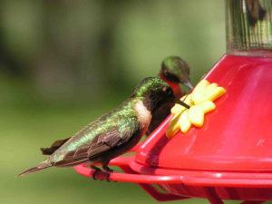 FLICKR HUMMINGBIRD