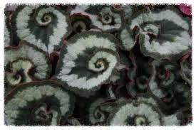 Those Beautiful Rex Begonias