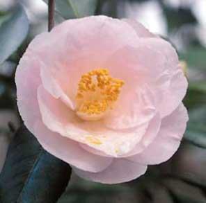 april-blush-camellia