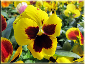 Yellow Pansy With Face