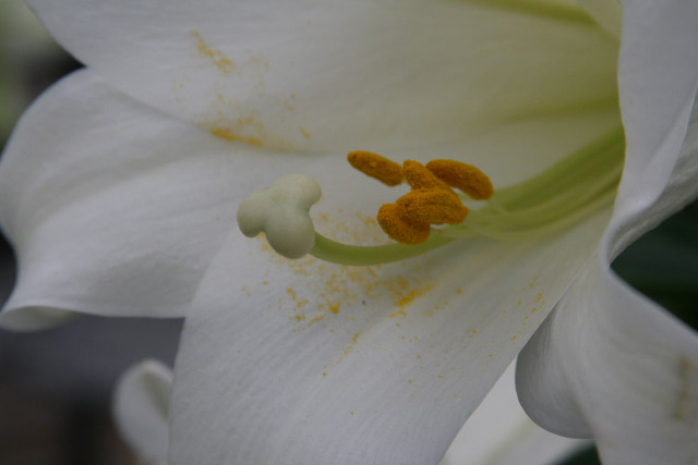 Removing Easter Lily Anthers; Behnke Nurseries