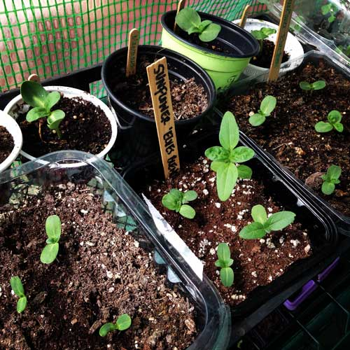 Botanical-Interests-Sunflower-Seedlings-in-the-Greenhouse