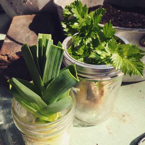 Regrowing-Celery-and-Leeks-in-Water