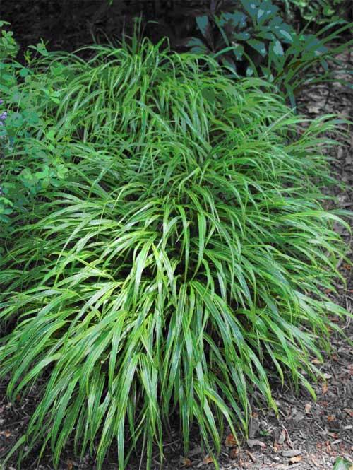 Hakonechloa Macra 'Albostriata' Planted 2003