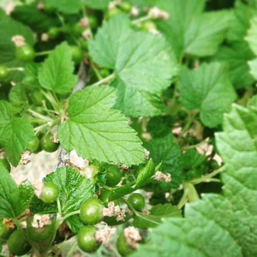 Black-currants-starting-to-fruit