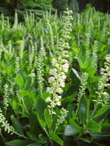 Clethra-alnifolia-225x300