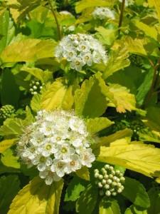 Physocarpus-opulifolius-Darts-Gold-4-225x300