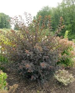 Physocarpus-opulifolius-Summer-Wine-9-242x300