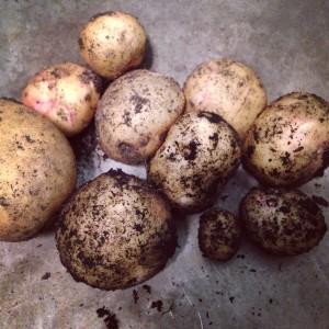 potato-harvest-300x300