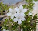 Serissa foetida blossom