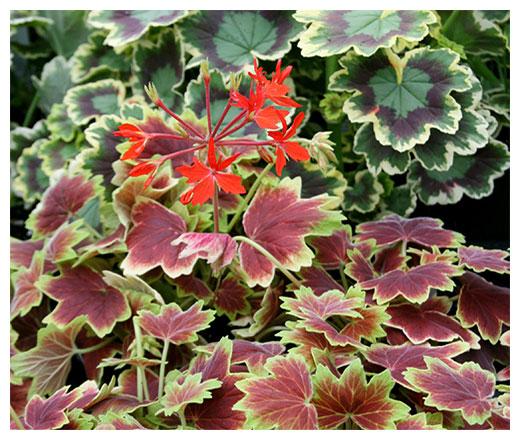 fancy leaf geraniums