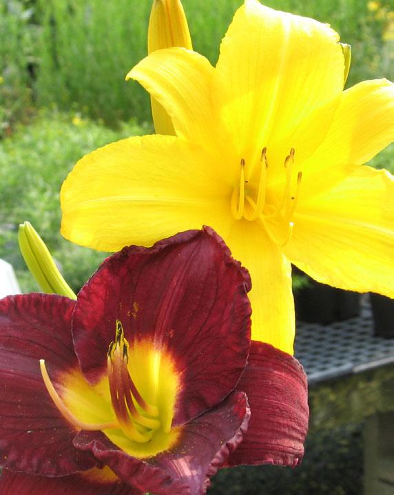 hemerocallis daylilies daylily