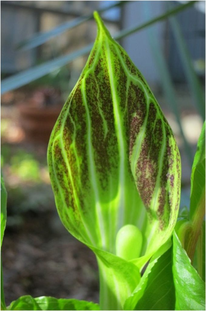 jack-in-the-pulpit-bloom