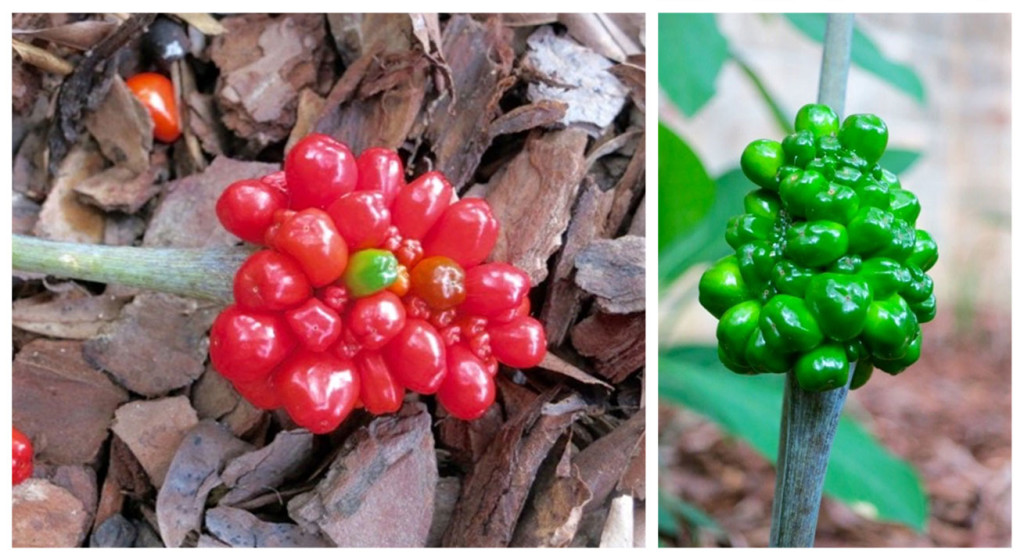 jack-in-the-pulpit-seeds