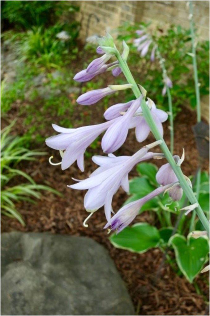 Hosta in Bloom