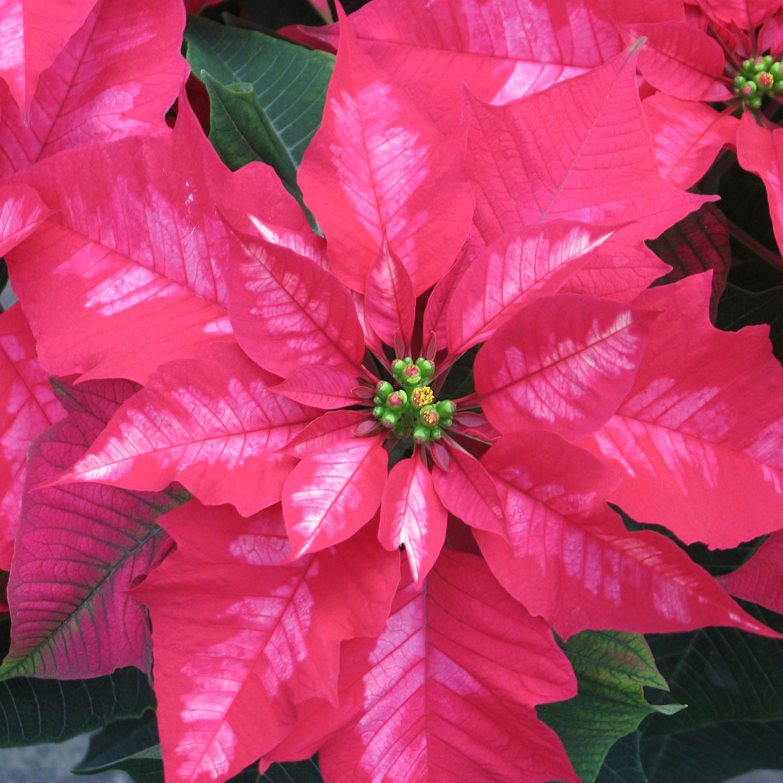 Poinsettia Holiday Discounts