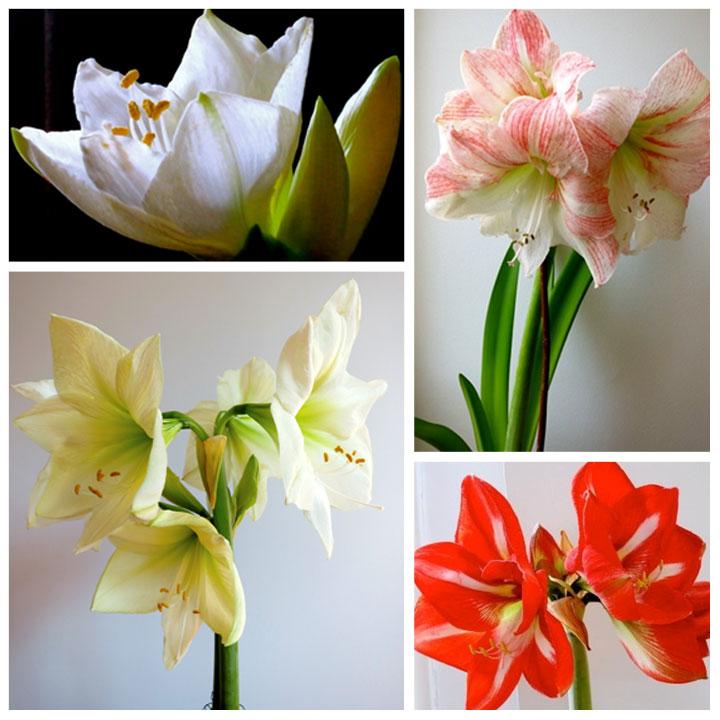 amaryllis-blooms