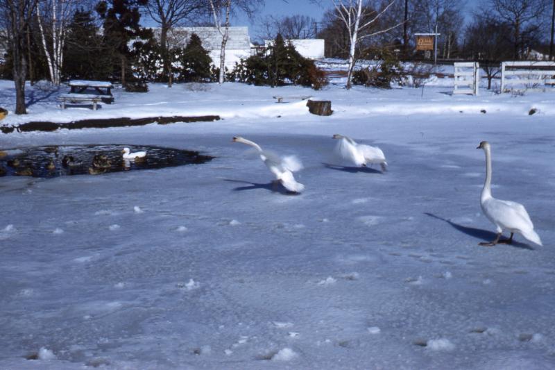 Behnke-swans
