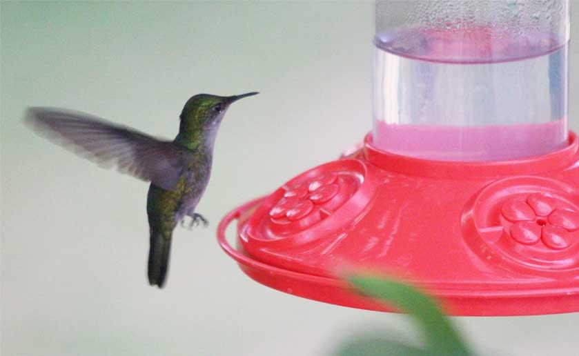 hummingbird-at-feeder