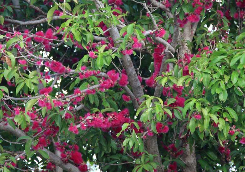 plum-rose