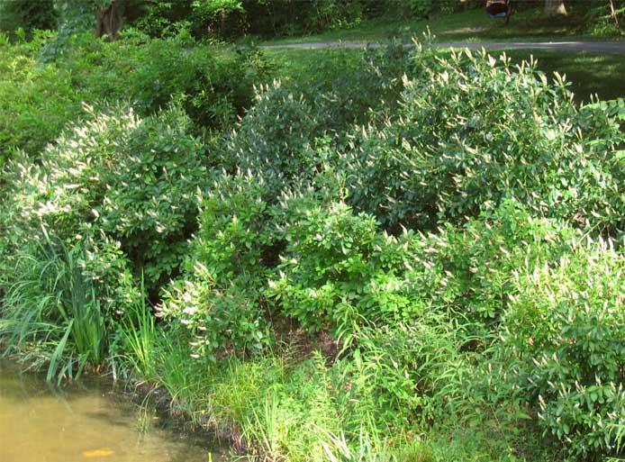 Clethra-alnifolia-5