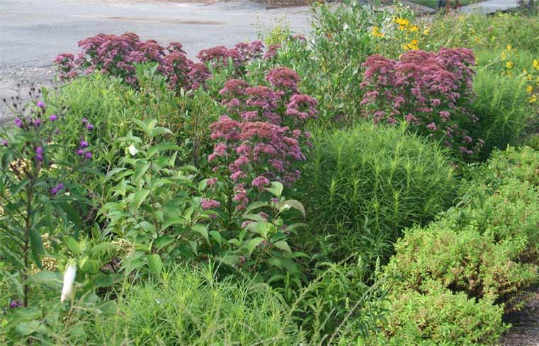 rain-garden-in-august