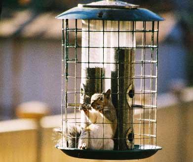 squirrel-in-feeder_3