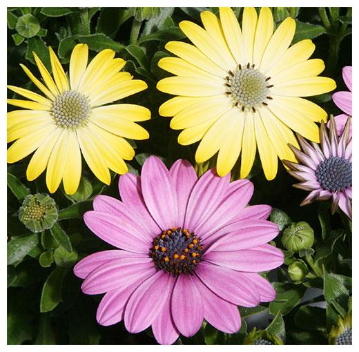 Osteospermum - Cape Daisy or African Daisy