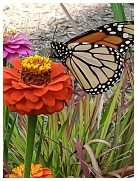 Butterfly Red Zinnia
