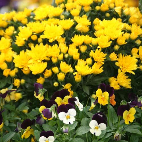 Yellow Mum And Pansies