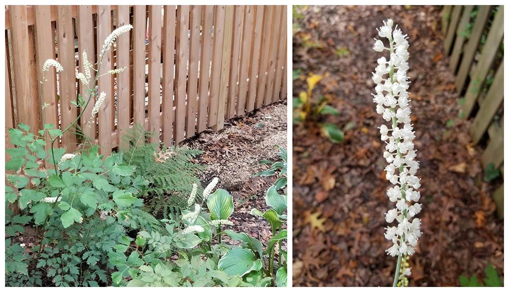 white pearl - bugbane