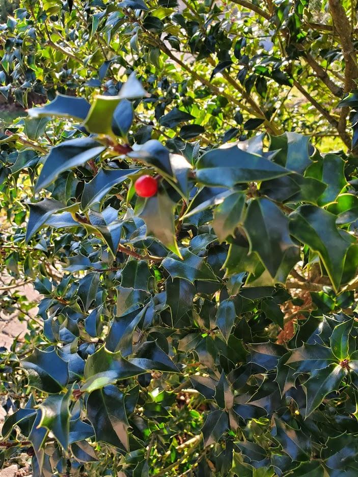 Holly in November