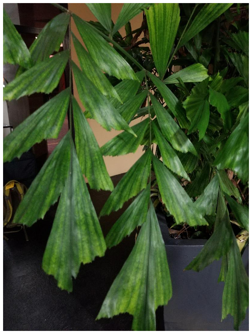 Potted-fishtail-palm-with-iron-chlorosis